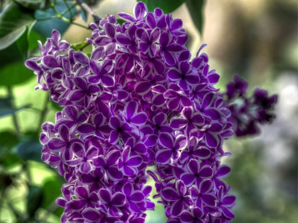 planted lilacs