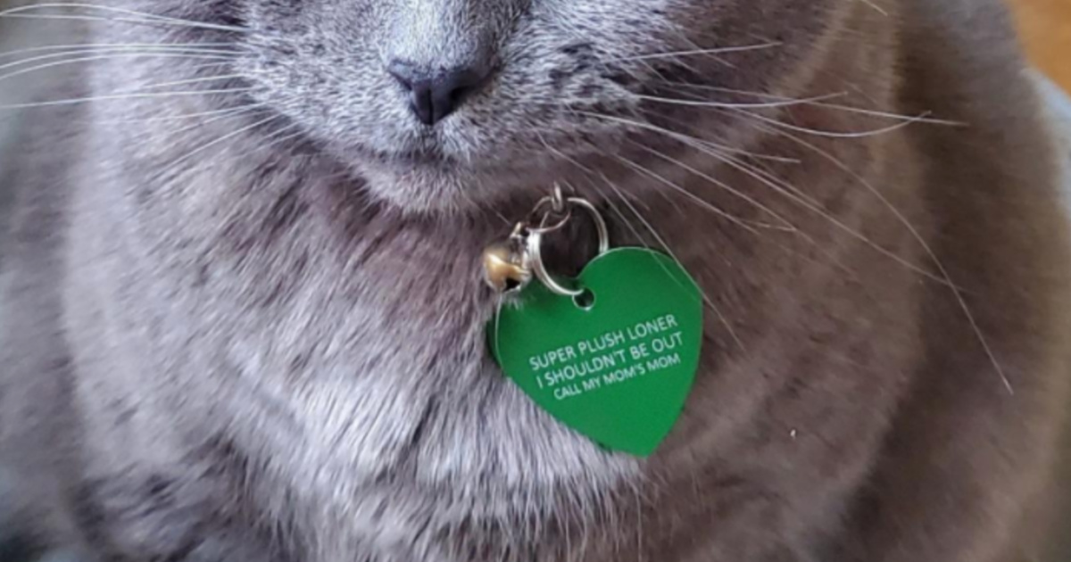 Grey cat wearing a green heart shaped ID tag