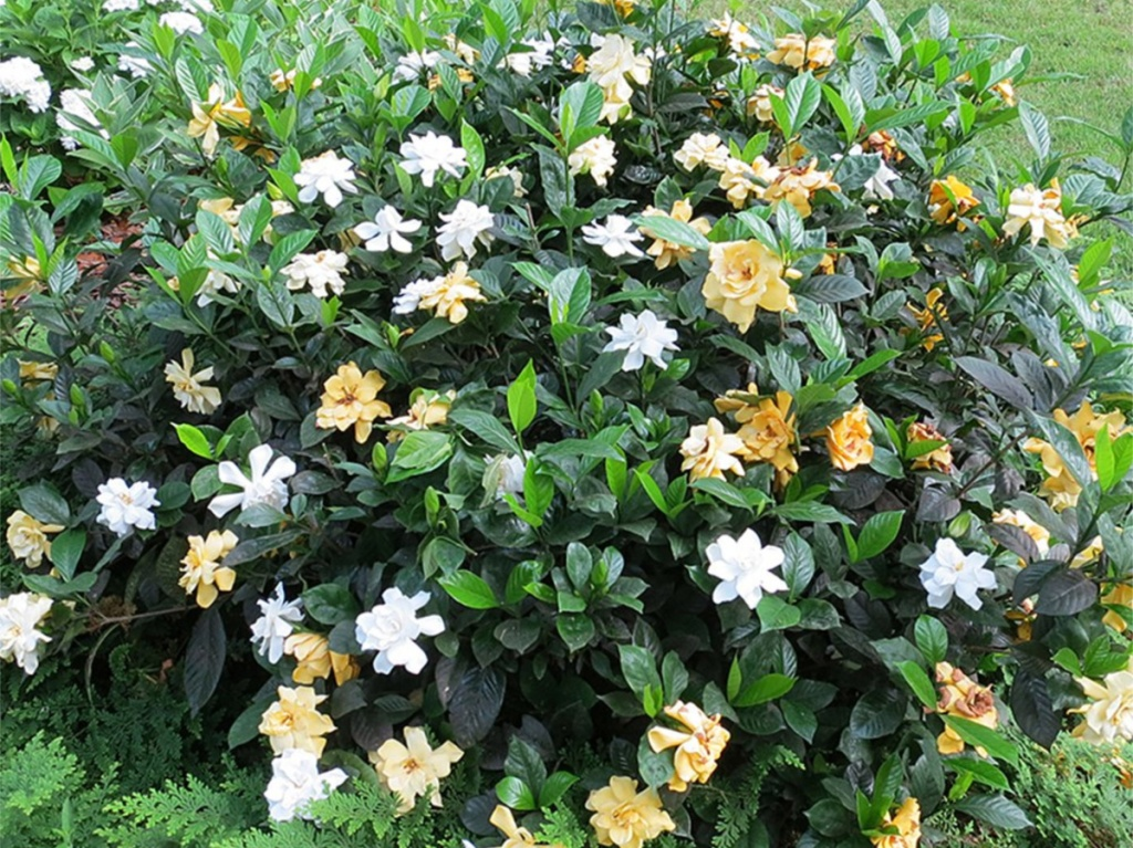 planted white and yellow gardenia plant