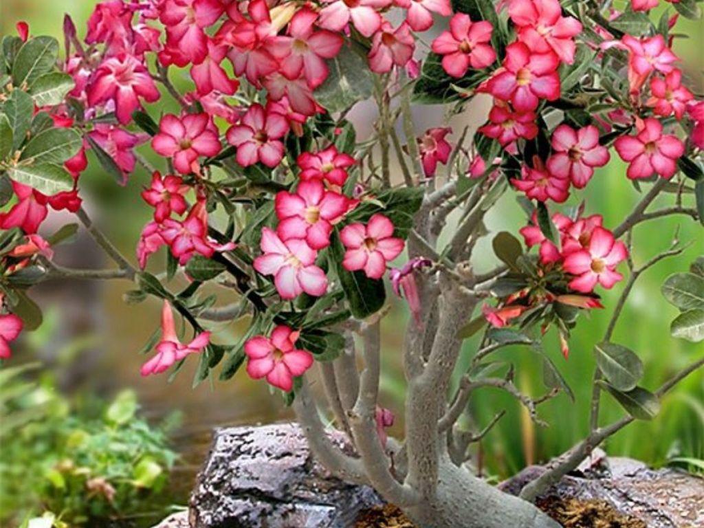 Live 'Desert Rose' Adenium Plant