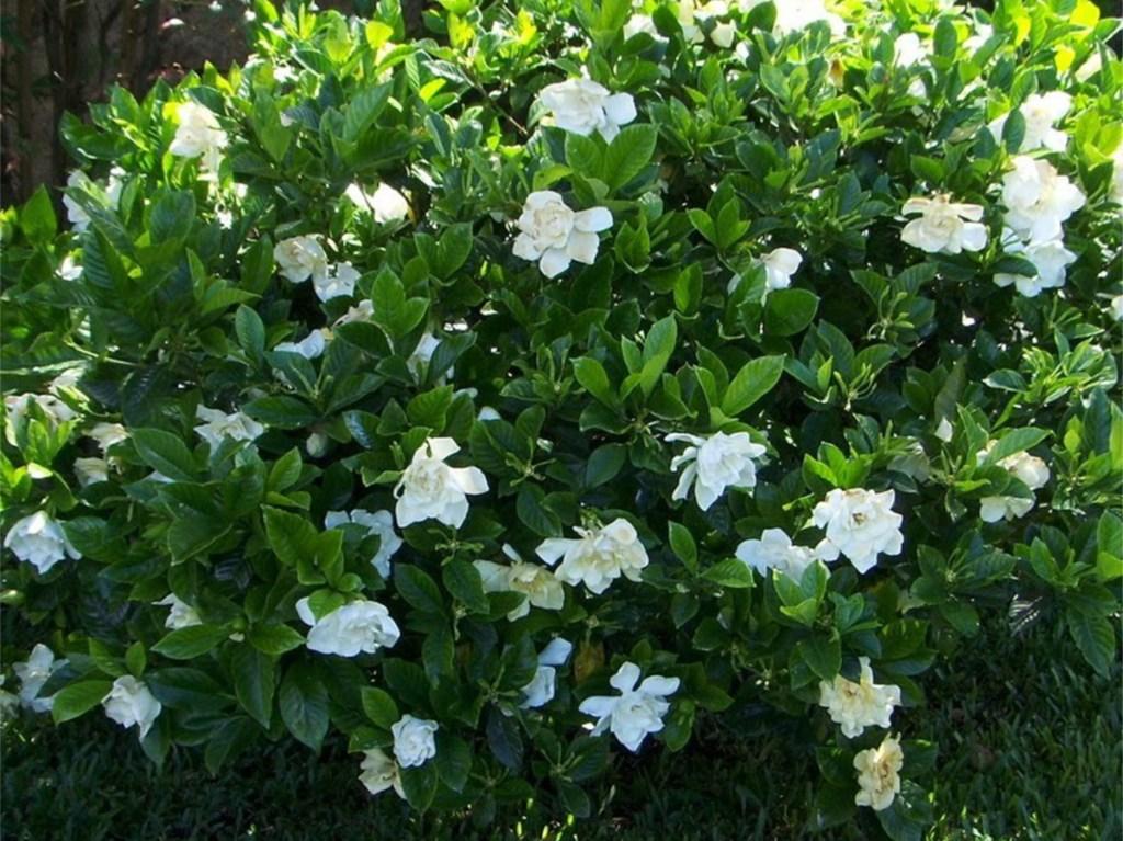 planted white gardenia