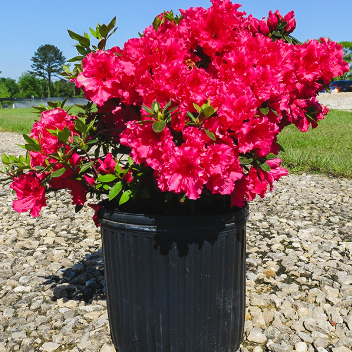Potted plant with large pink flowers
