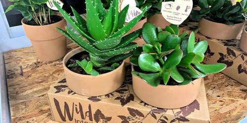 Sam's Club is Selling 2-Packs of Indoor Plants & Large Succulents for Just $12.98