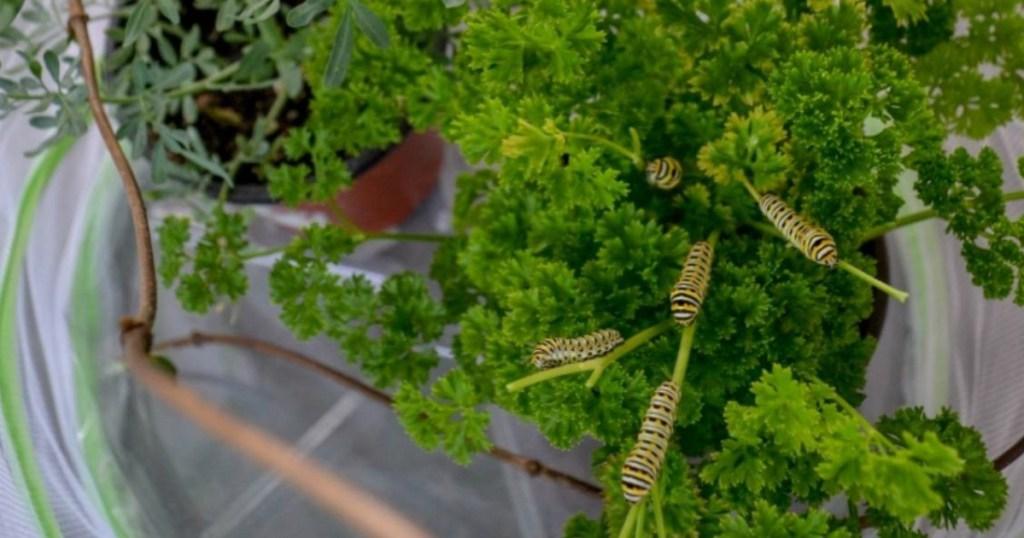 caterpillars in butterfly habitat