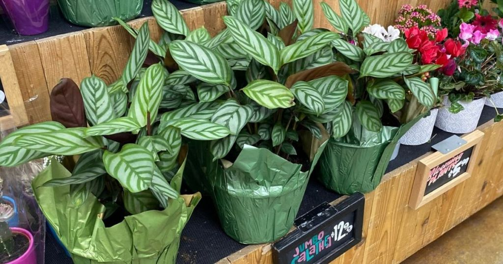 Large leafy potted plants
