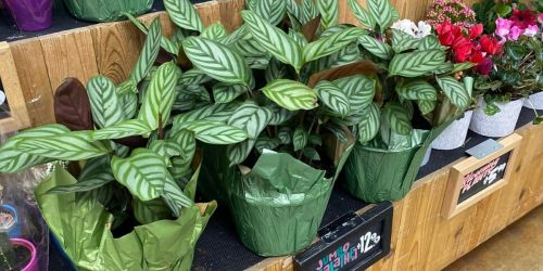 Jumbo Calathea Plants Just $12.99 at Trader Joe's