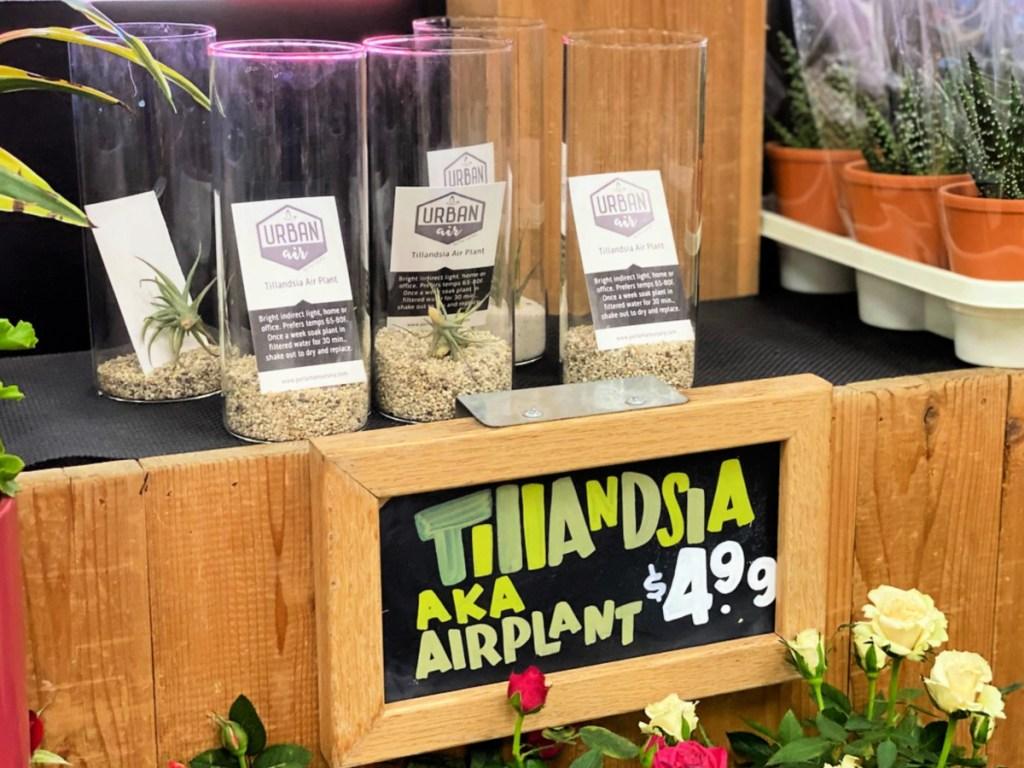 Tillandsia Air Plant on shelf at Trader Joe's