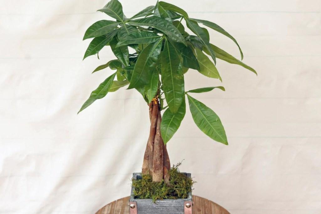 small bonsai tree in wooden box