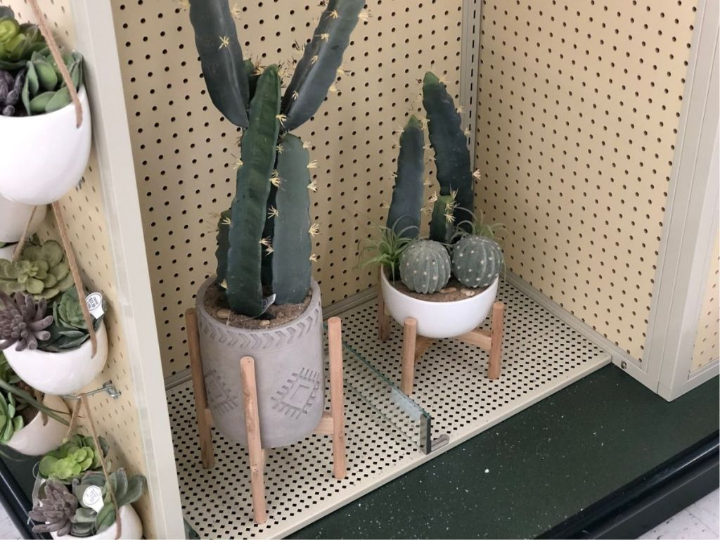 two cactus plants in store