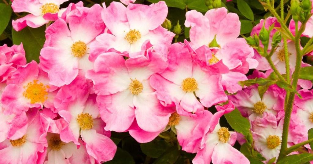 pink and white rose bush