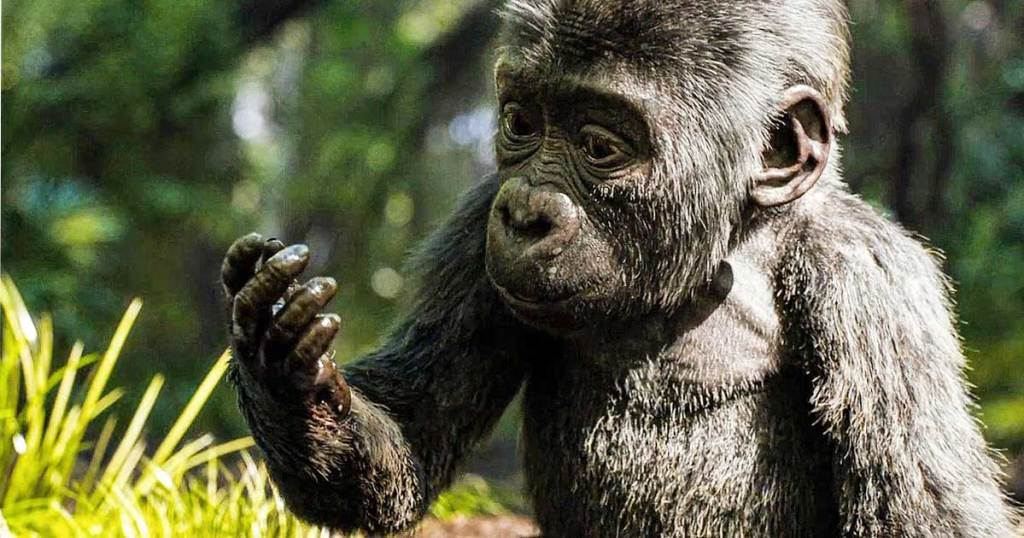 Movie scene of a baby gorilla looking at his hand
