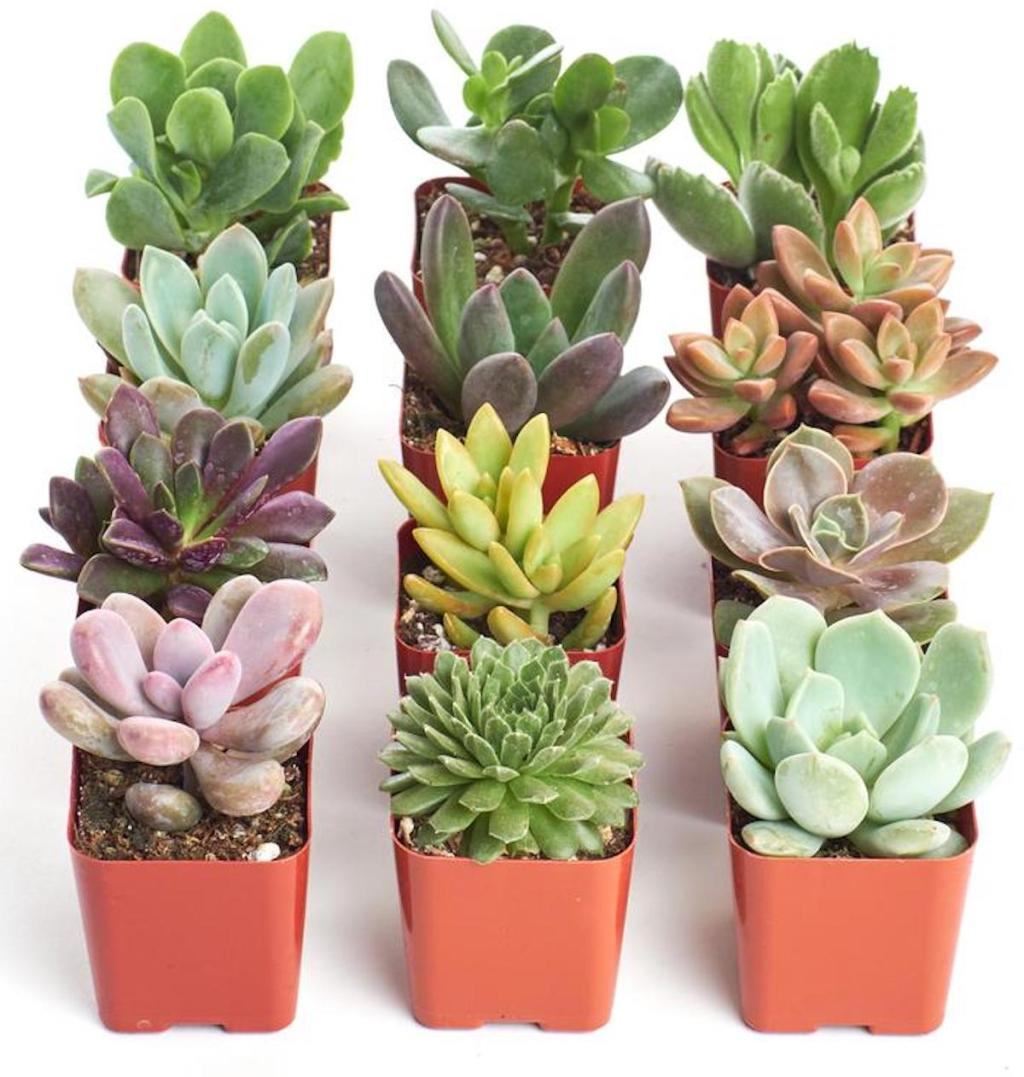 12 pack of succulents in pots with assorted styles
