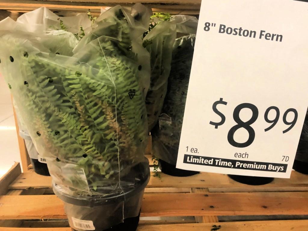"8"" Boston Fern at ALDI"
