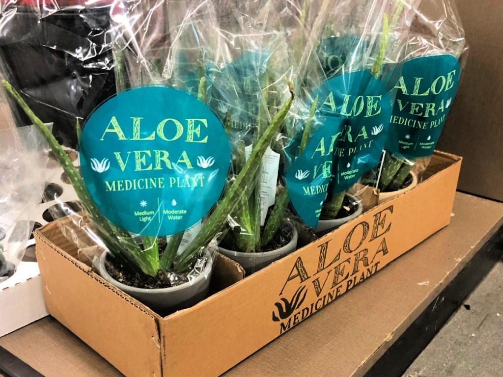 Aloe Vera Medicine Plants at ALDI
