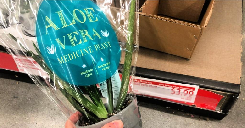 Aloe Vera medicine plant at ALDI