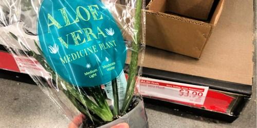 Aloe Vera Medicine Plants Only $3.99 at ALDI + More
