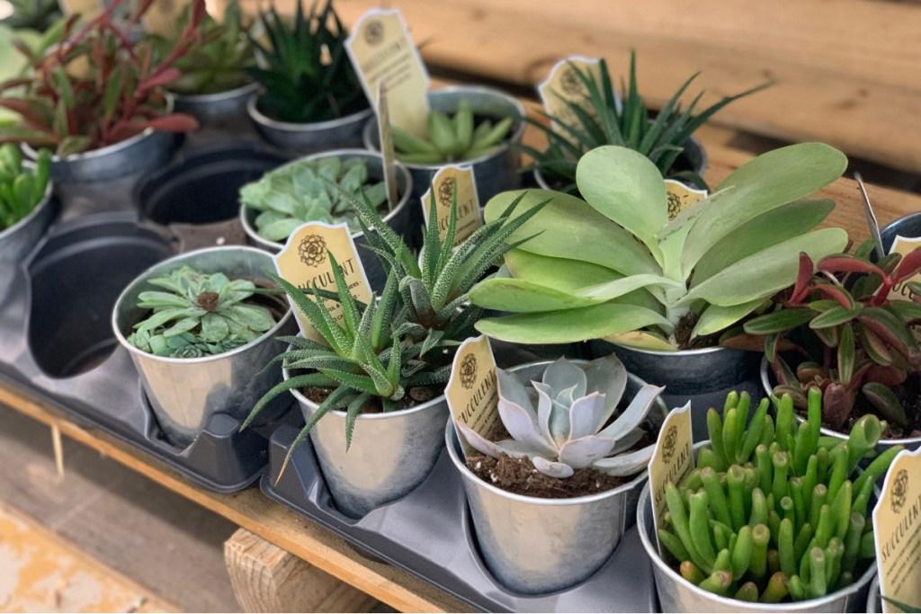 "4"" succulents at ALDI"