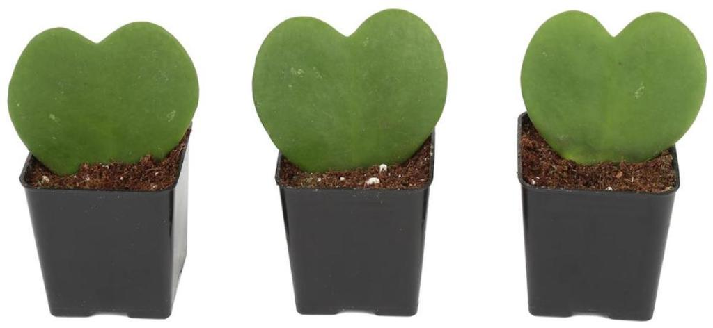 three heart shaped hoyas in plants