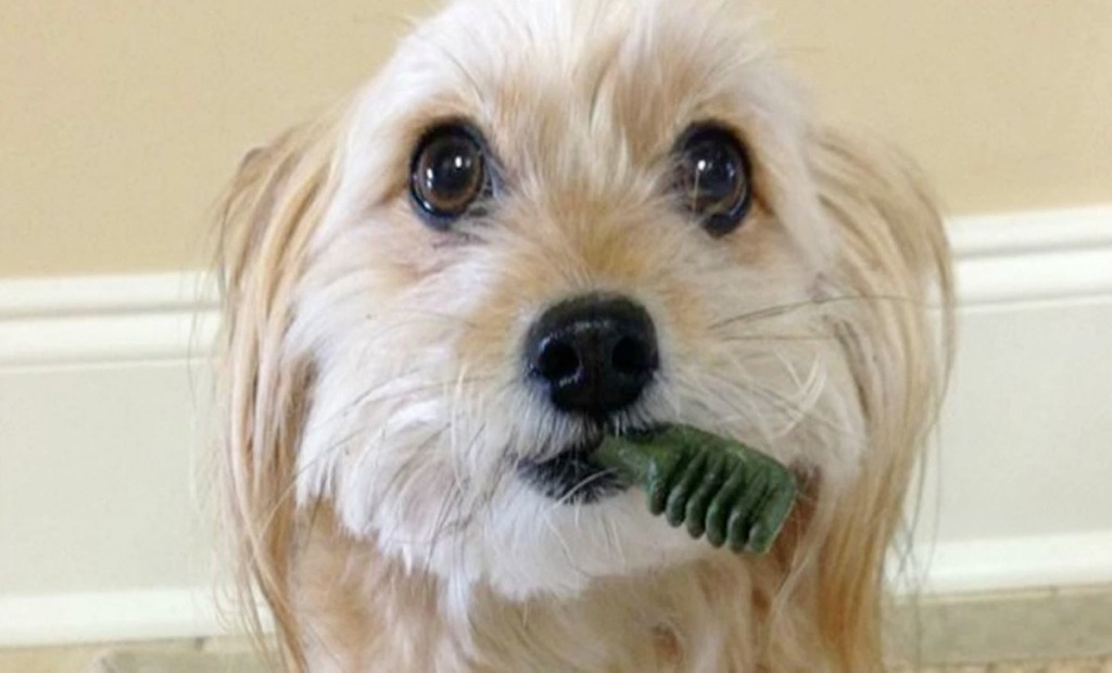small white dog with greenies dog treat in mouth