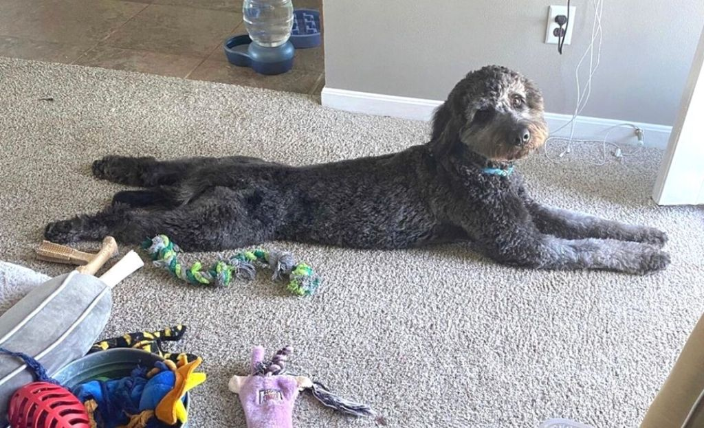 A dog laying on the floor next to dog toys