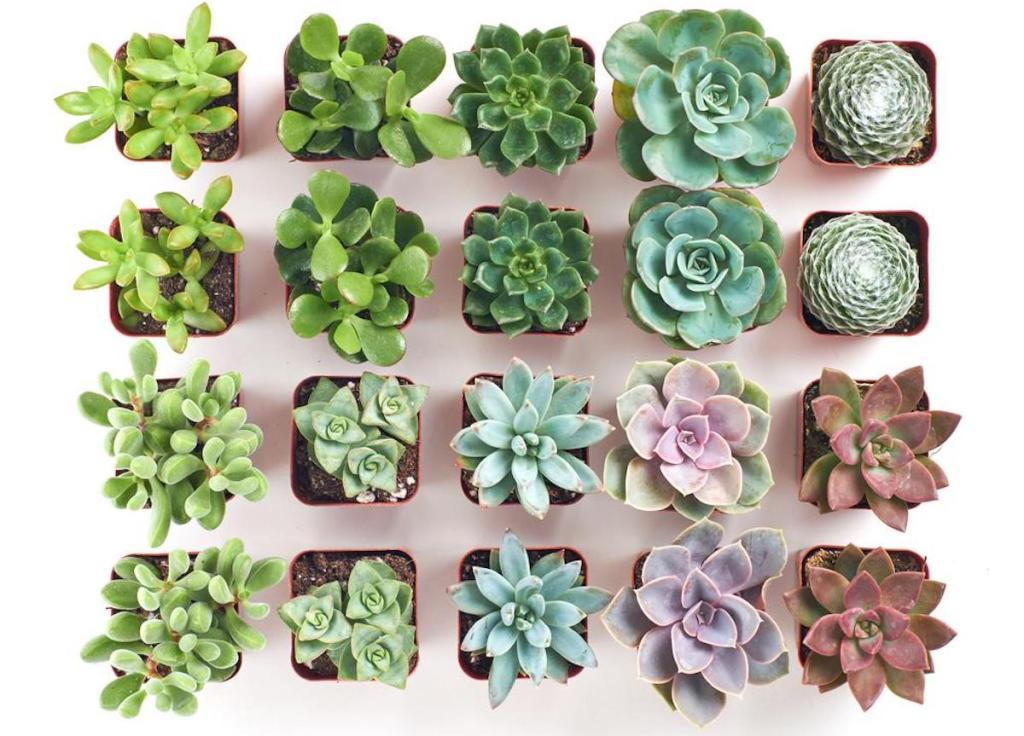 overhead view of multiple succulents in pots