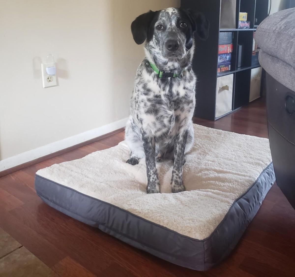 dog sitting on sherpa dog bed