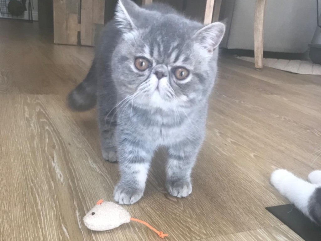 gray cat with mouse toy