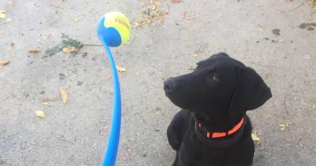 black dog looking at tennis ball launcher