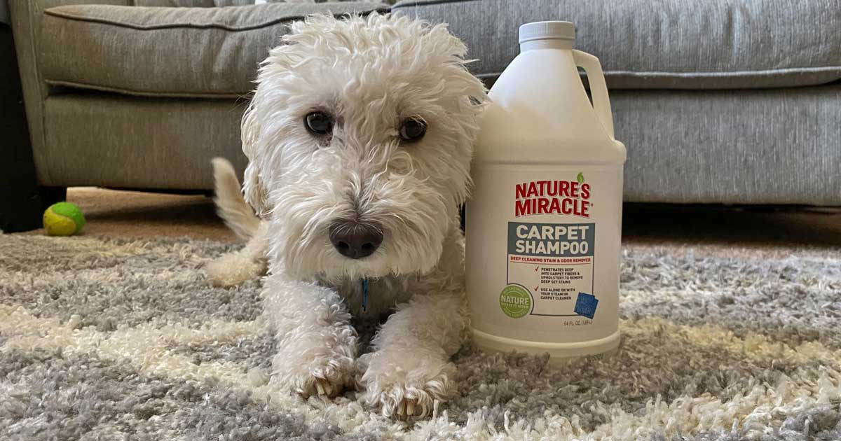 white furry dog in need of a grooming next to pet carpet shampoo