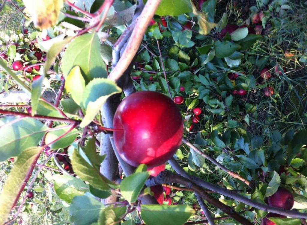 one red mcintosh apple on tree with berries behind it