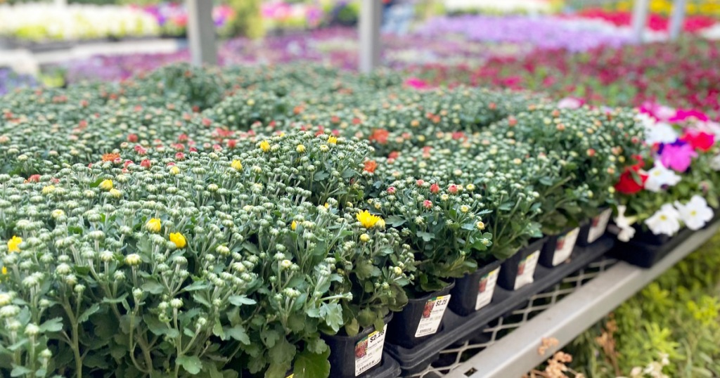 individual containers of mums flowers in garden department at Home Depot