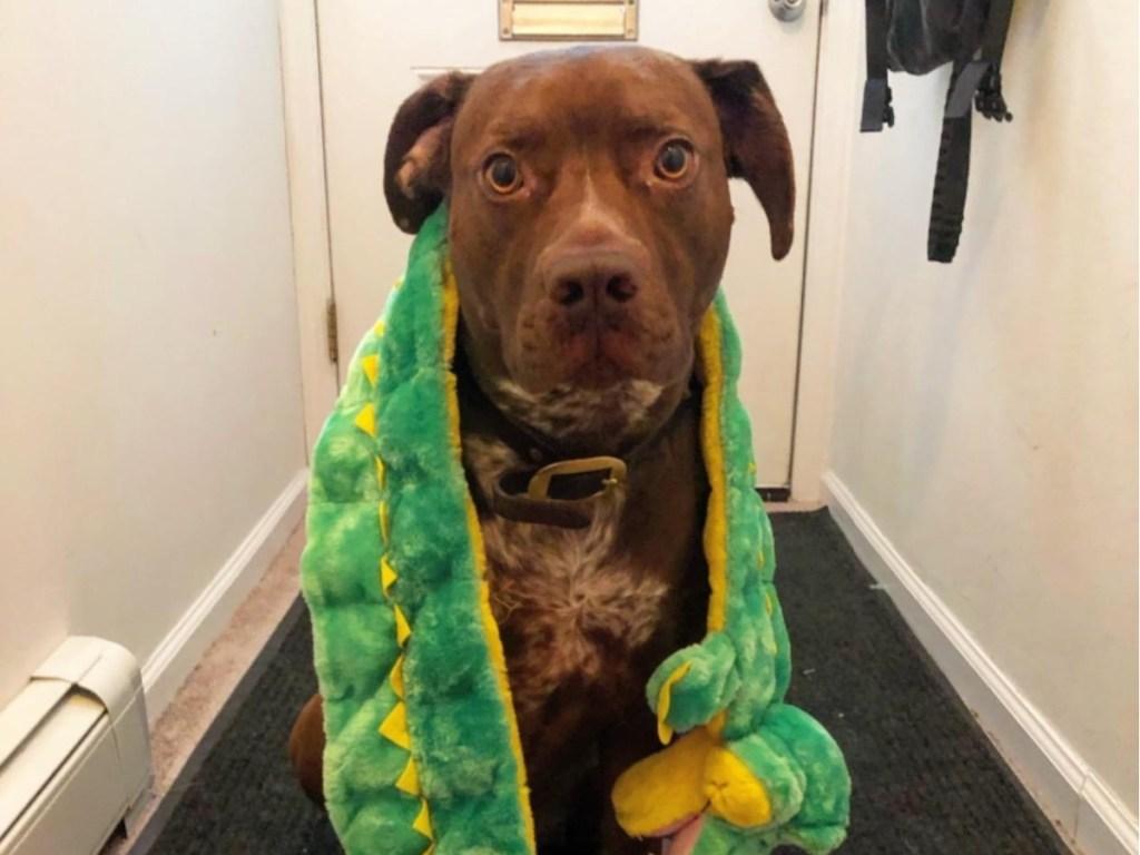 dog with Outward Hound XL Gator Squeak Toyaround his neck