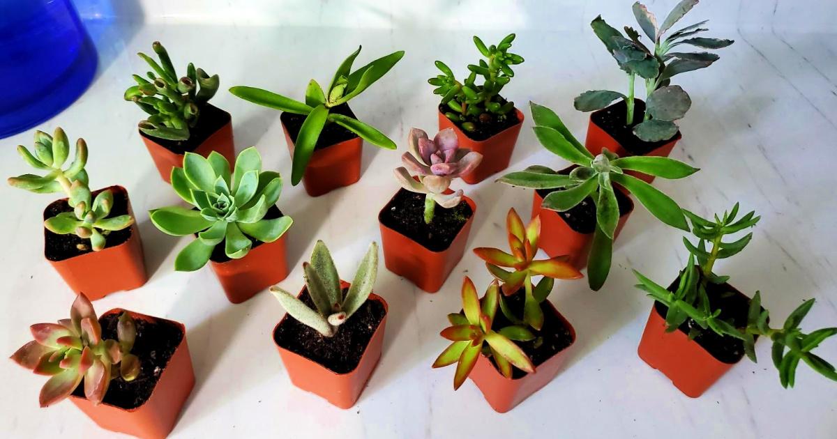 succulents in plastic pots