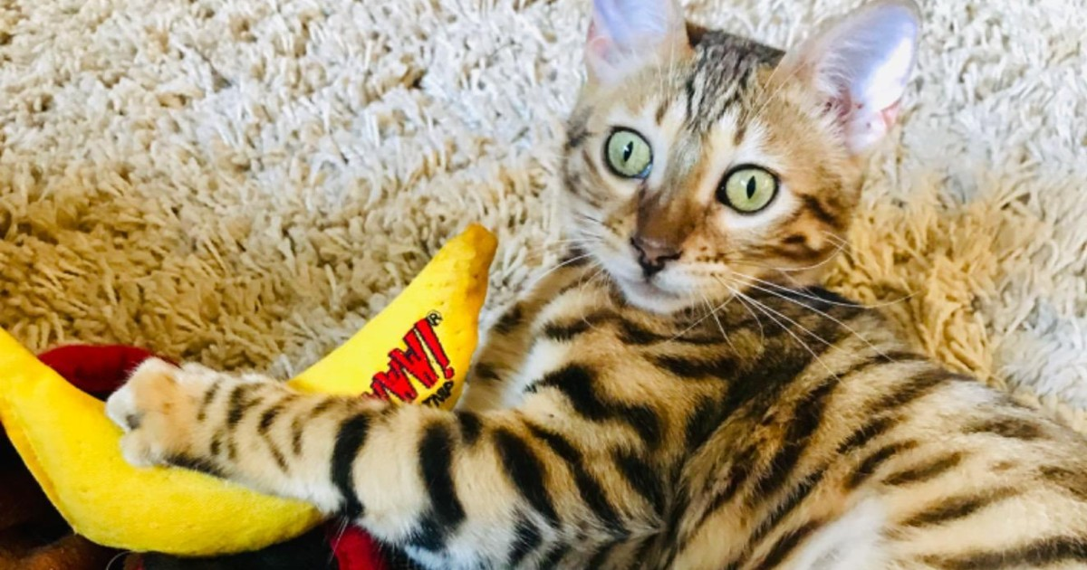 striped cat playing with banana toy