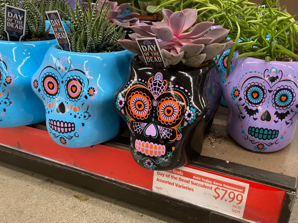 purple, black, and blue day of the dead succulents on store shelf
