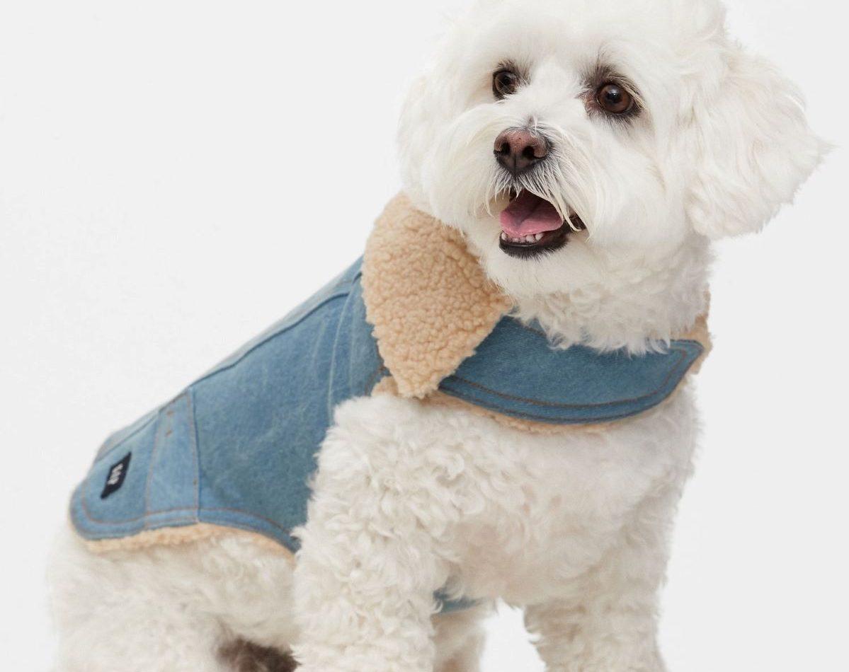 dog wearing a denim jacket