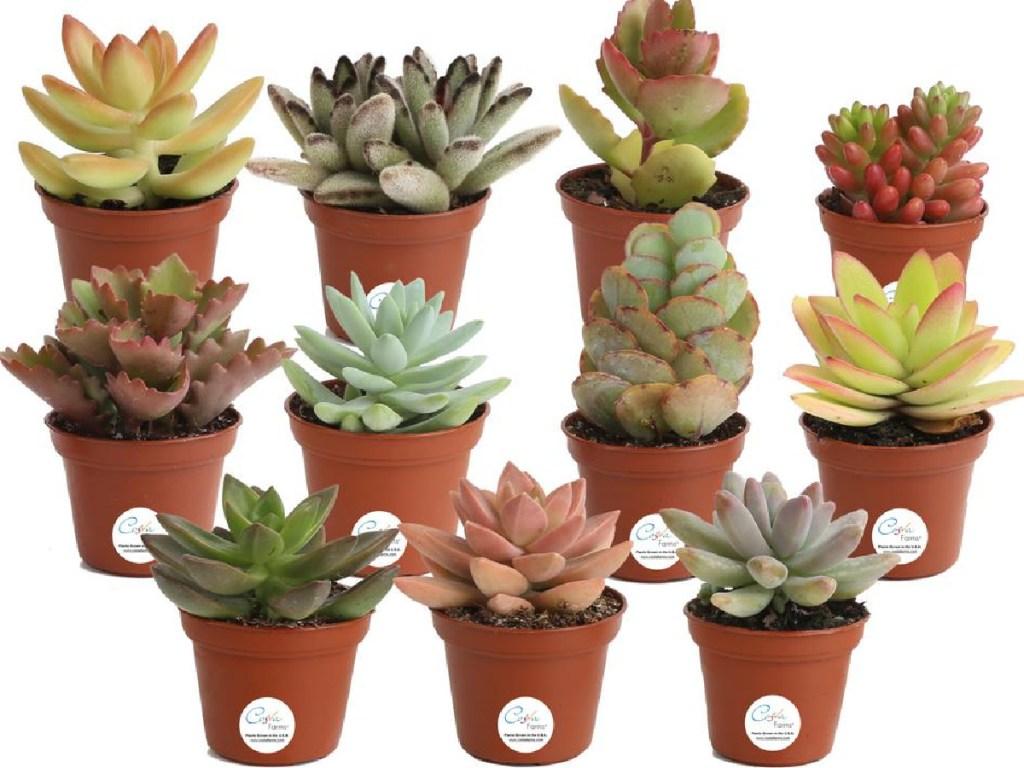 11 pack of mini succulents on homedepot.com