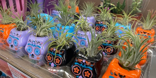 Day of the Dead Succulents & Air Plants from $3.99 at ALDI | Easy Halloween Decor