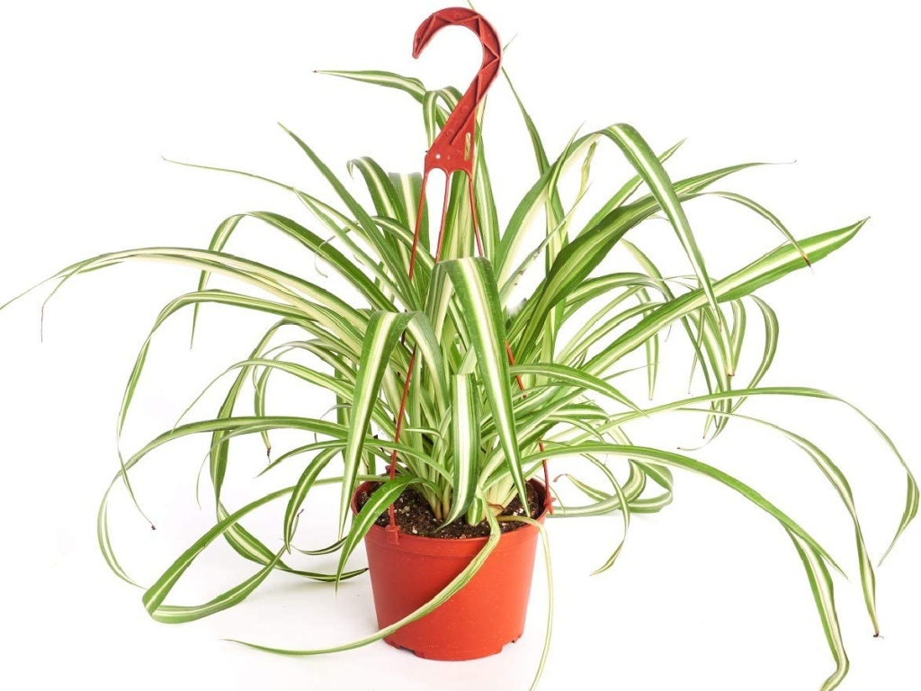 """Shop Succulents Air Purifying Indoor/Outdoor Spider House Plant in 6"""" Grow Pot"""