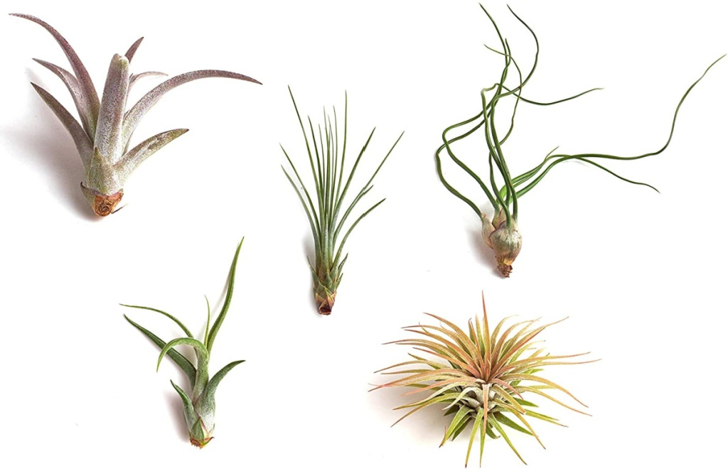 Shop Succulents Live Air Plants Hand Selected Variety 5-Pack