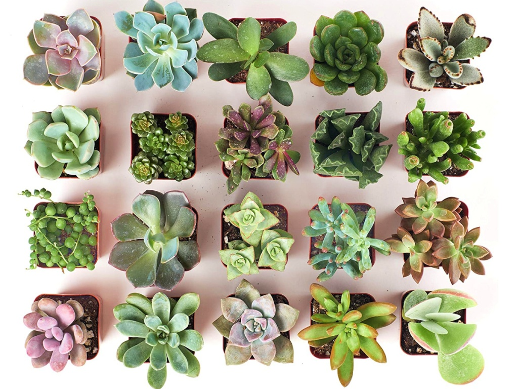 Shop Succulents Unique Collection Hand Selected Variety 20-Pack of Mini Succulents