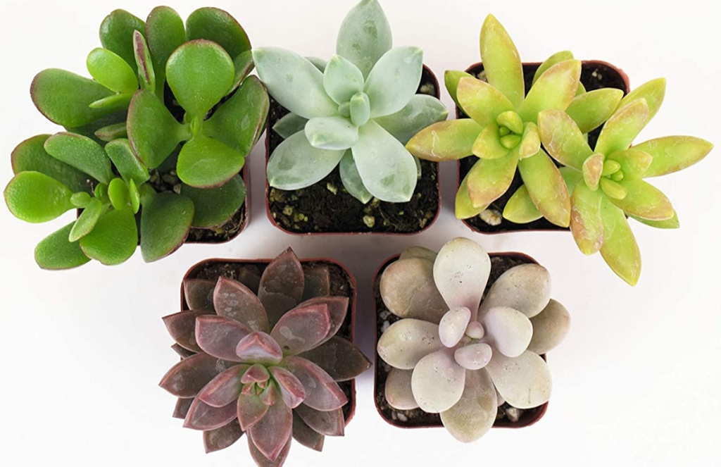 Shop Succulents Unique Collection Hand Selected Variety 5-Pack of Mini Succulents