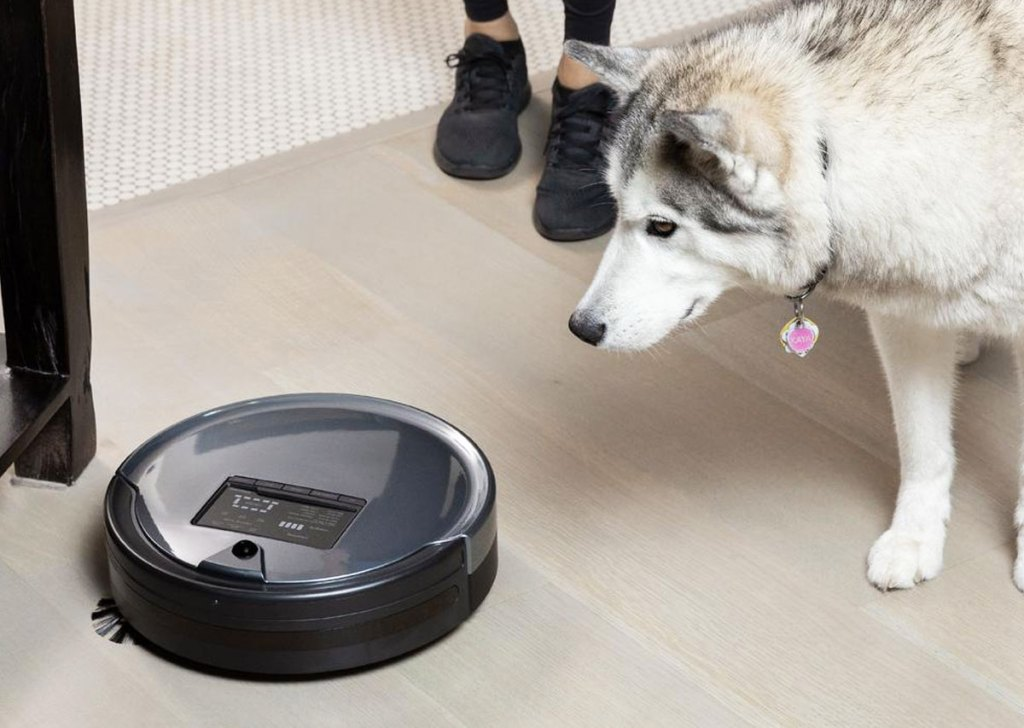 husky standing looking at a grey and black robotic vacuum cleaning the floor