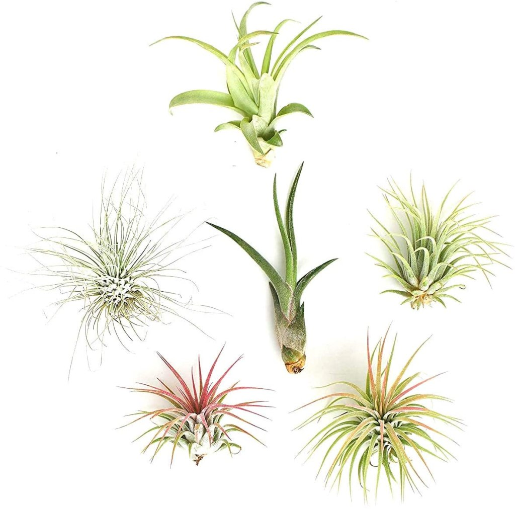 live air plants w/o planters