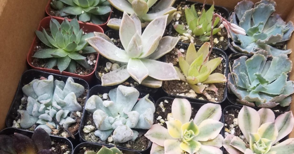 live succulents variety pack from Amazon