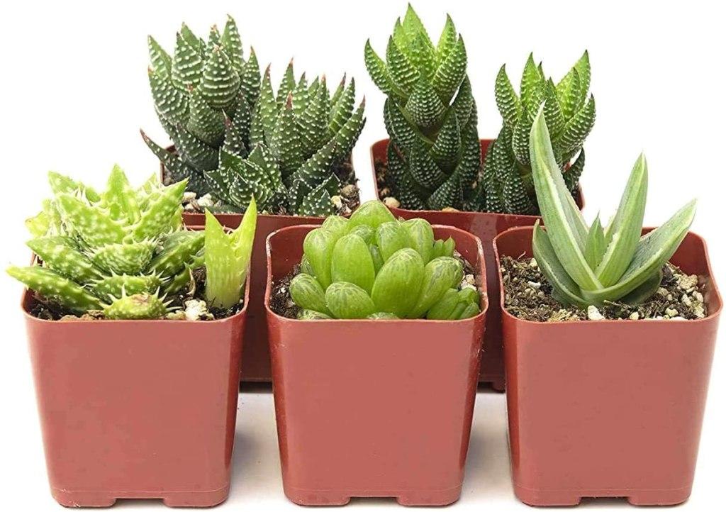 mini aloe plants in planters