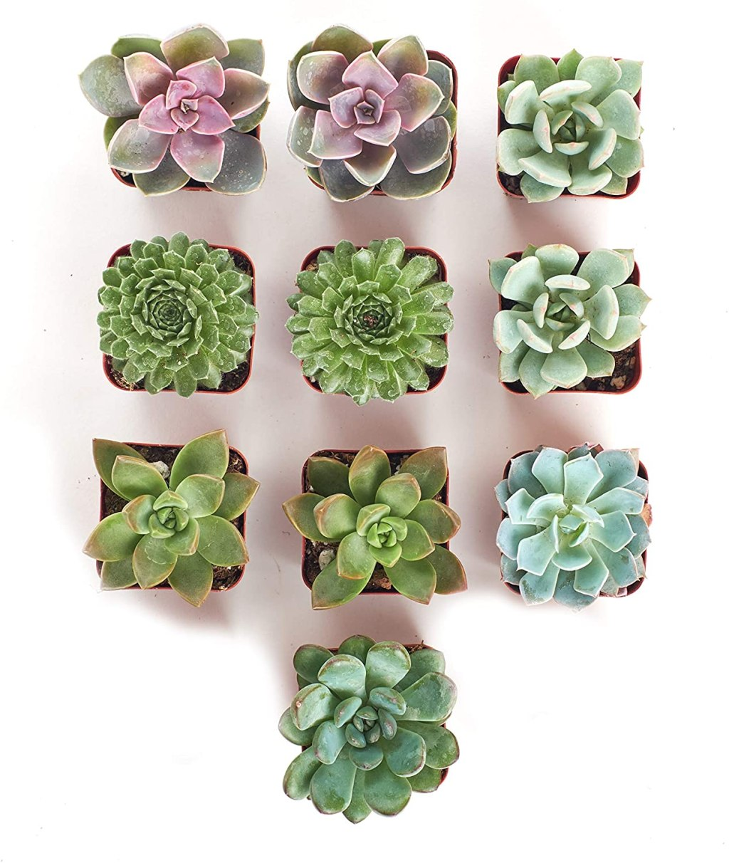 mini rosette succulents 10-pack