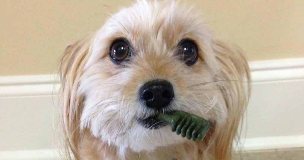 Dog eating Greenies