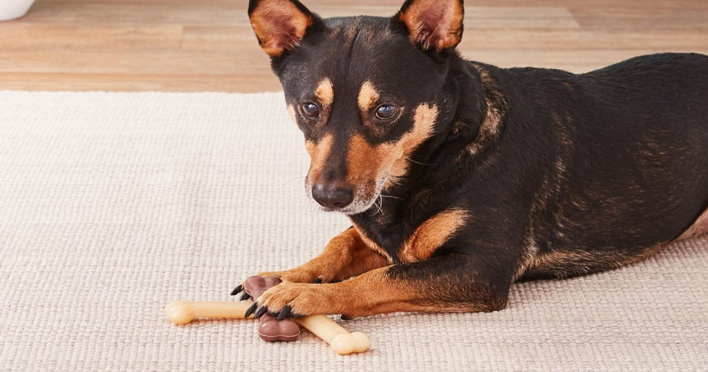 small black and brown dog laying on rug with paws on top of three bone chews