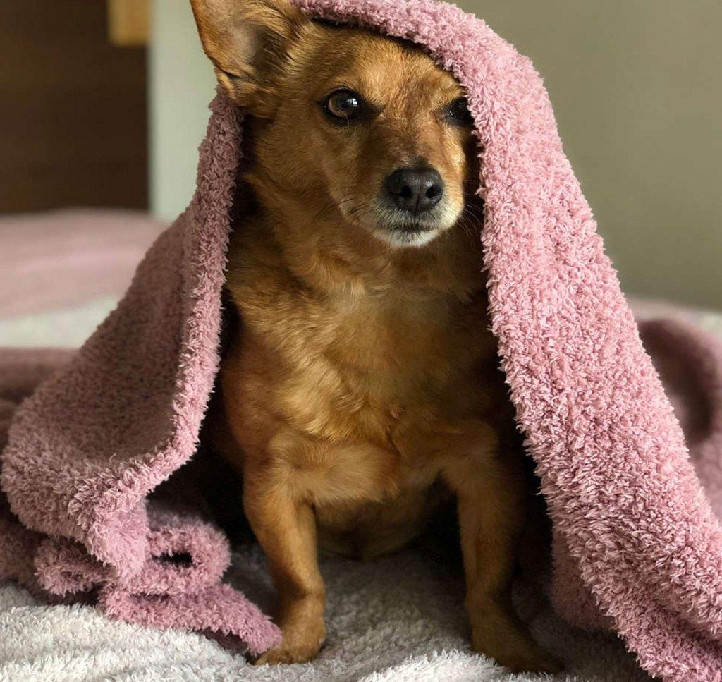 anjing coklat uner selimut mewah merah muda di tempat tidur